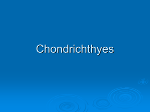 Chondrichthyes PPT