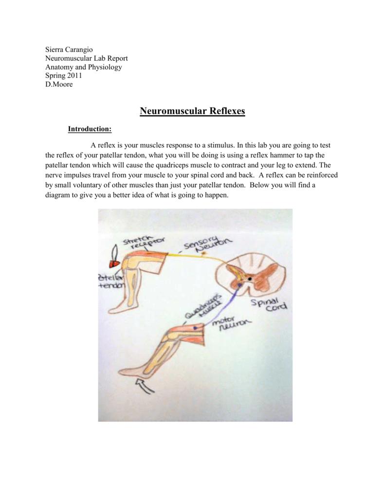 Neuromuscular Reflexes