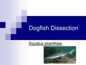 Dogfish Dissection