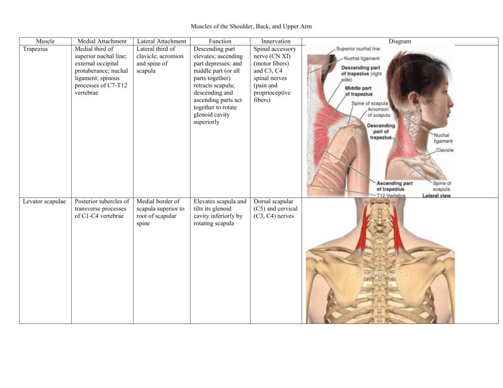 Muscles of the Shoulder, Back, and Upper Arm Muscle Medial