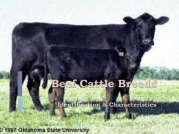 Beef Cattle Identification