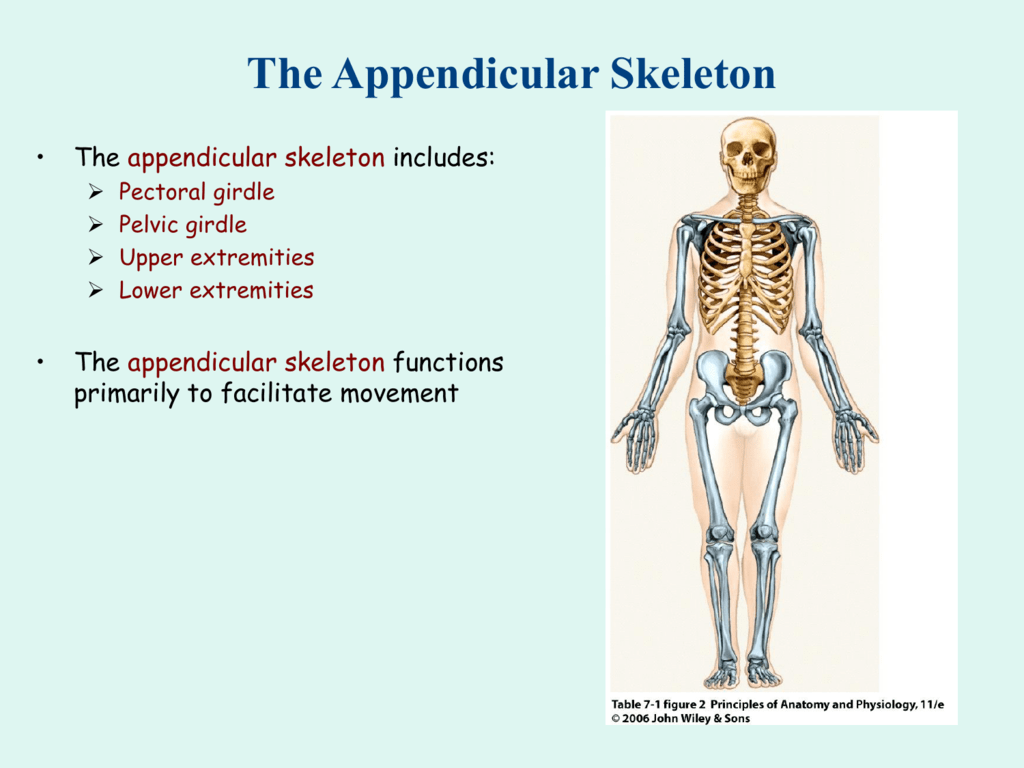 Wunderbar Appendicular Skeleton Anatomy And Physiology ...