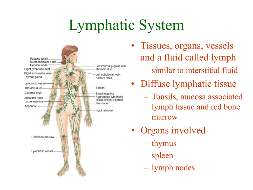 Lymphatic System Scf Faculty Site Homepage