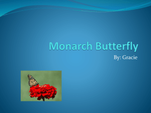 Monarch Butterfly - carman2kent2012to2013