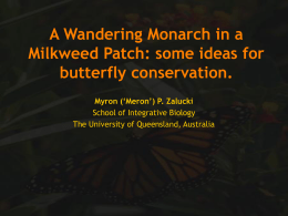 A Wandering Monarch in a Milkweed Patch