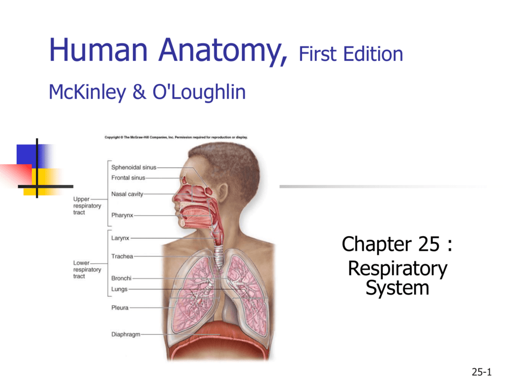 Human Anatomy First Edition Mckinleyoloughlin