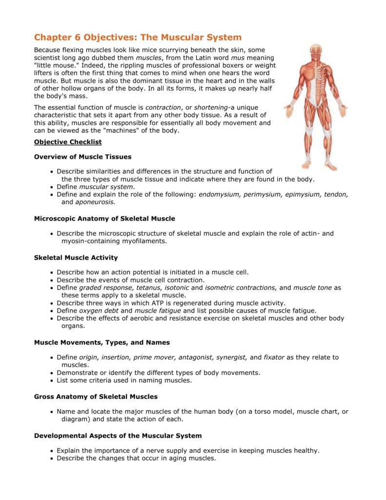 Chapter 6 Objectives: The Muscular System