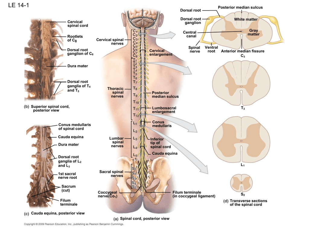 Cervical Spine Nerve Roots Anatomy Gallery - human body anatomy