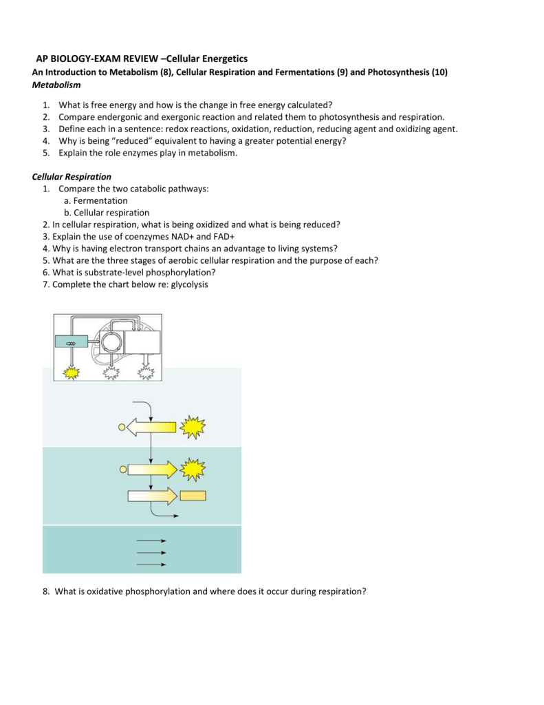 ap bio cellular respiration essay