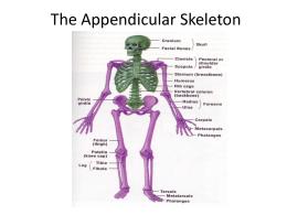 the skeletal system part 2 the appendicular skeleton