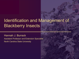 Thrips prevalence and management in southeastern blackberries