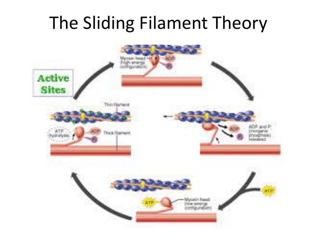 sliding fillamennt worksheet The proposed mechanism for this contraction is called the sliding filament theory muscle cells (aka myofibers or muscle fibers) are made up of bundles of filaments called myofibrils the filaments contained within these fibrils are made of protein.