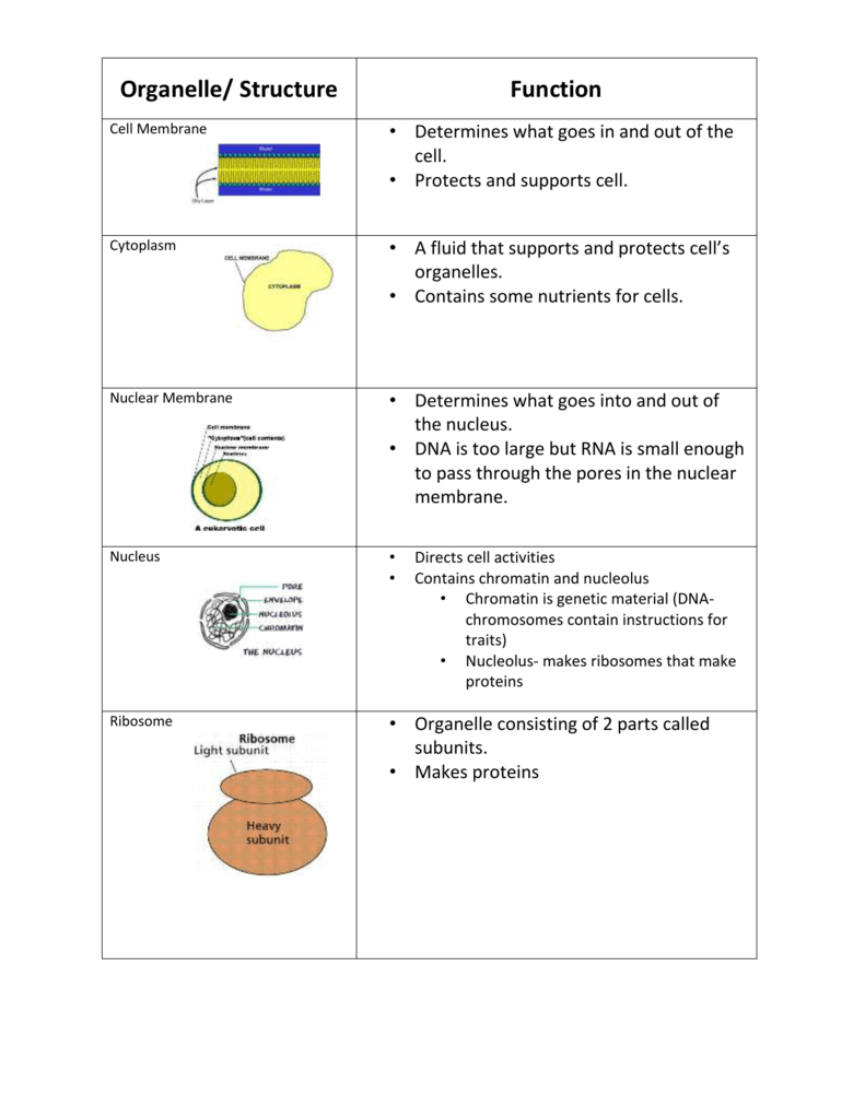 Organelle/ Structure Function