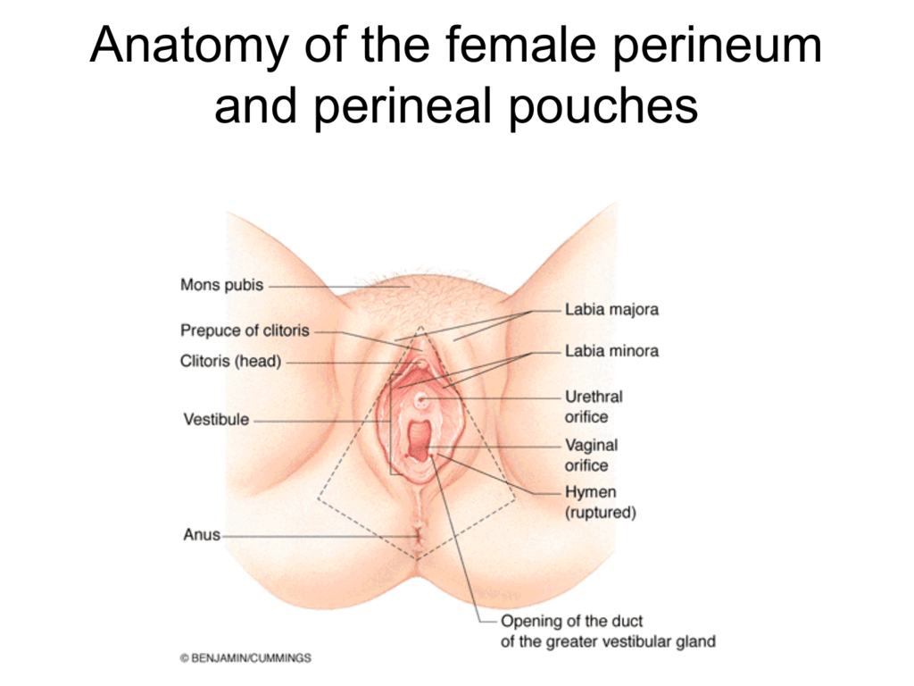 Anatomy of the female perineum and perineal pouches - Dr