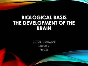 Biological Bases The Development of the Brain