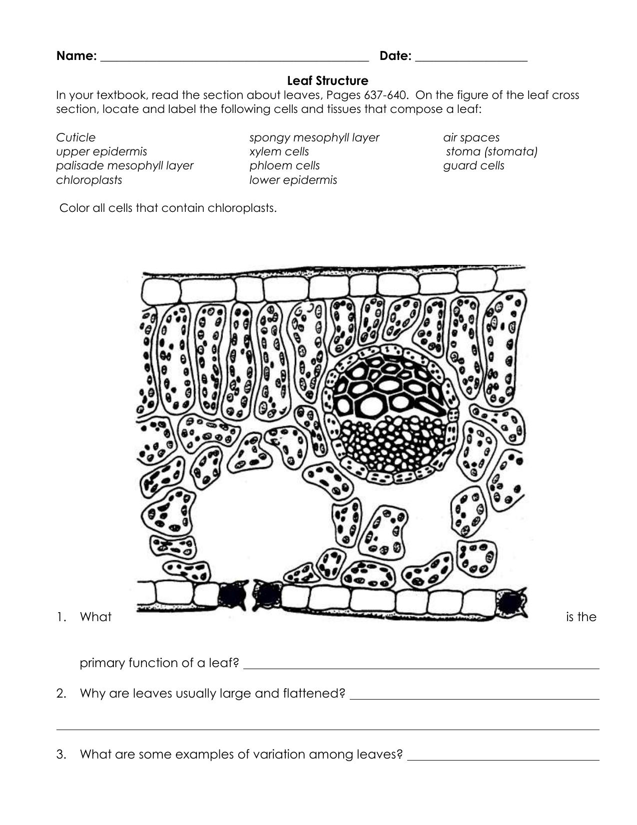leaf cross sections diagram printout