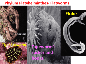 Phylum Platyhelminthes- Flatworms Tiger Flatworm