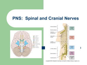 PNS: Spinal and Cranial Nerves