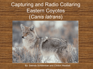 PowerPoint Presentation - Capturing and Radio Collaring Eastern