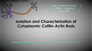 Presentation : Isoltaion and characterization of cytoplasmic cofilin - Actin rods