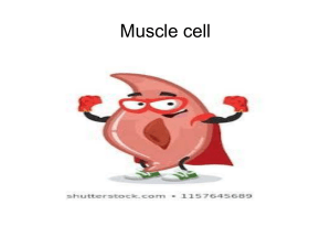 Muscle cells 8