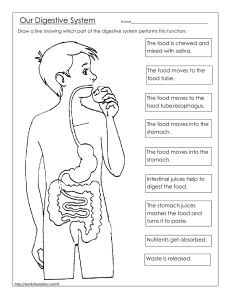 Digestive-System-at-Work