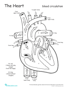 anatomy-heart-2