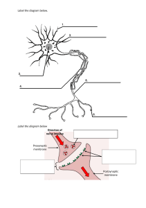 Label the neuron handout