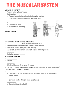 Muscular System Skeleton Notes