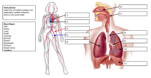 Circulatory and Respiratory System Labeling