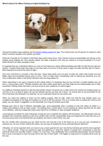 What to Search for When Picking an English Bulldog Pup